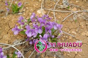 紫花地丁的移栽和播种