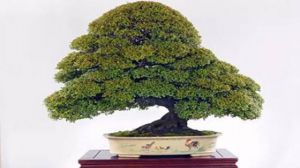 小叶紫檀盆景如何修剪