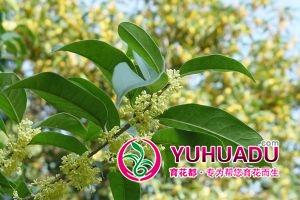 四季桂盆景冬天怎么养殖