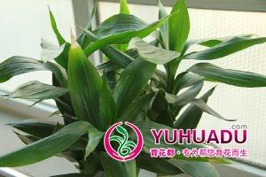 富贵竹的水肥管理