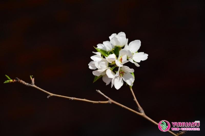 洁白的梨花图片