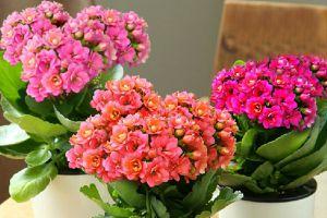 长寿花适合在室内养吗