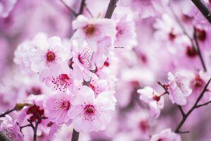 桃花可以泡水喝吗