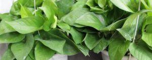 绿萝叶子发黄怎么处理:啤酒让绿萝叶子更绿吗?