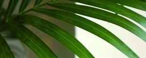 刚买回来的散尾葵叶子干枯怎么处理