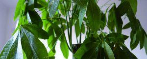 发财树为什么叶子变软,教你一招救活!