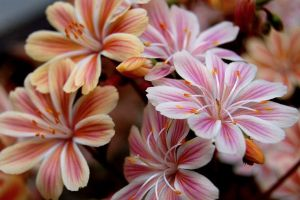 这10种花寓意幸福团圆,过年过节家里一定要种!