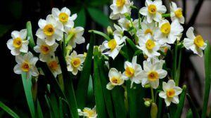 水仙花怎么催花