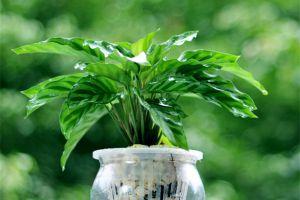孔雀竹芋的繁殖方法大全