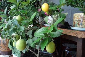 盆栽柠檬树怎么修剪