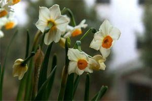 水仙花的繁殖方法大全
