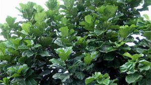 琴叶榕怎么繁殖