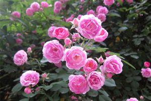 月月开花还好养活,简直是养花杀手的福音