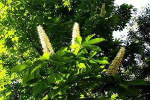 七叶树怎么繁殖