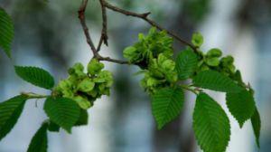 榆树的繁殖方法