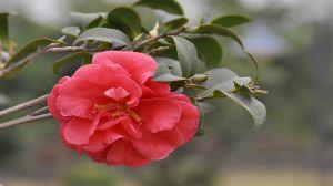 茶花可以种在院子里吗