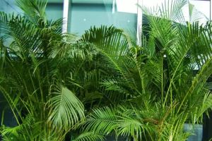 暖气空调房太干燥,种几盆加湿植物吧