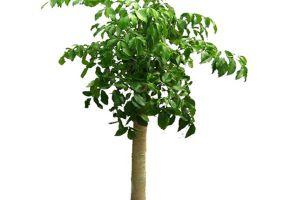 平安树怎么换盆