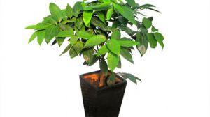 平安树是怎么施肥