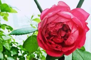 给花浇点洗头水,虫子一碰就丧命,花朵猛开刹不住!