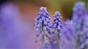 风信子花代表什么意思
