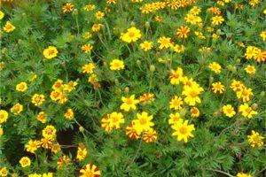 荷兰菊的开花时间及其管理