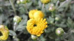 胎菊的功效与作用