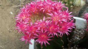 仙人球什么季节开花,开花后怎么处理?