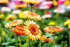 非洲菊的度夏和越冬