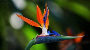 鹤望兰什么季节开花