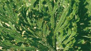 含生草的功效与作用