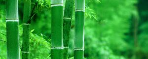 竹子冬季叶子发黄吗