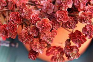 秋季,小球玫瑰怎么养出紫红色