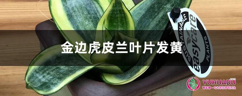 金边虎皮兰黄叶的原因和处理办法