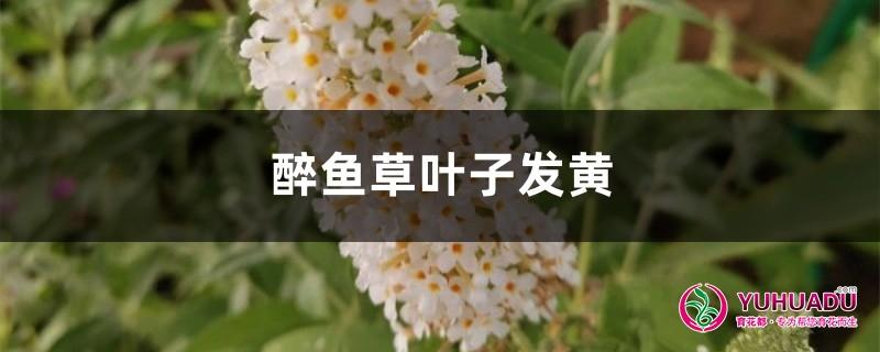 醉鱼草黄叶的原因和处理办法