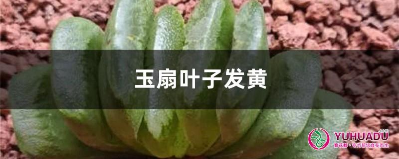 玉扇黄叶的原因和处理办法