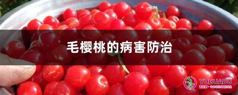 毛樱桃的病害防治