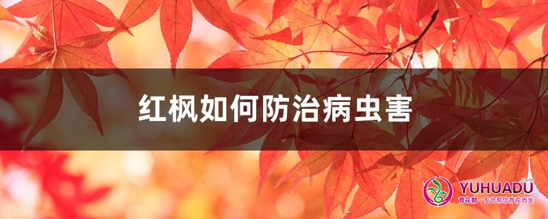 红枫的病虫害防治,这样做再不用发愁!