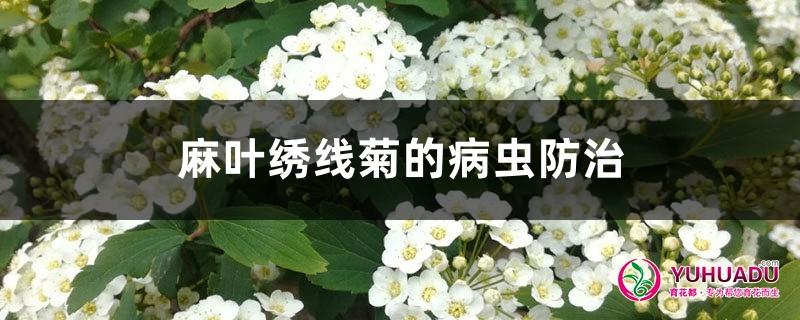 麻叶绣线菊的病虫防治