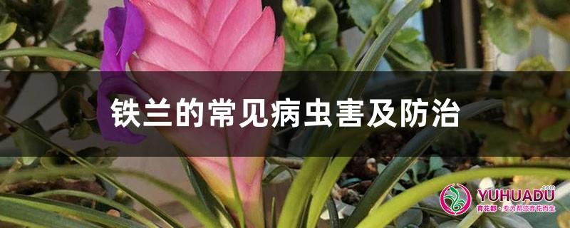 铁兰的常见病虫害及防治