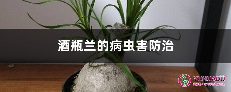 酒瓶兰的病虫害防治